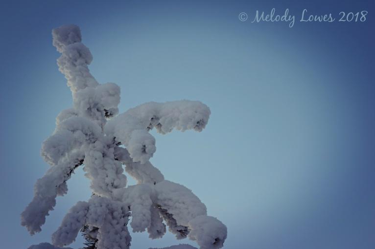 frosty spruce.jpg